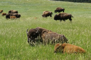 Bison at French Creek, Custer S.P.