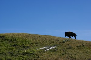 Lone Bison on a hill south of Canyon Village.