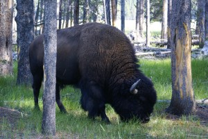 Bison are common, which makes them all the more dangerous.