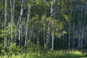 We were parked next to this aspen grove while at Forestedge Winery, a most appropriate name for the place.