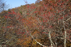 A red berry bush along the Blue Ridge Parkway, VA.