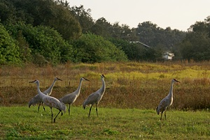 Sandhill cranes at the Turner Agri Civic Center.