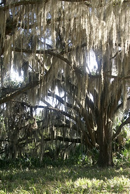 Live Oak with Spanish moss, PPSP.