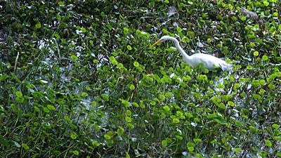Egret, north boardwalk area, PPSP.