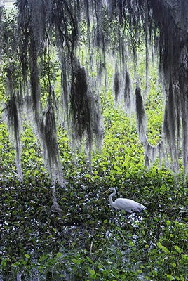 Egret, north boardwalk area, PPSP.