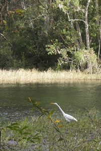 An Egret on the hunt at Rainbow Springs SP (FL).