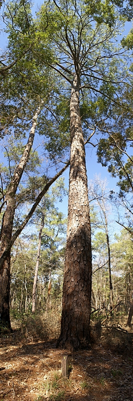 Loblolly Pine at Manatee Springs SP (FL).  (MS-ICE composite of 4 photos.)