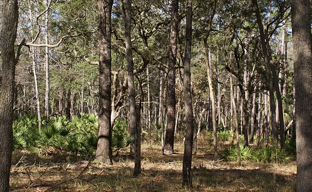 A view of the forest on the Scenic Trail at Manatee Springs SP (FL).