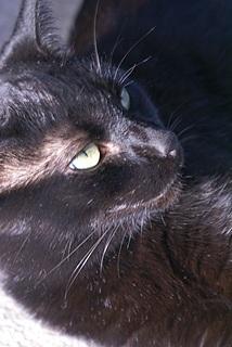 Our female cat, Juniper, in the sunlight.