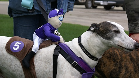 This greyhound at the pet parade had a jockey!