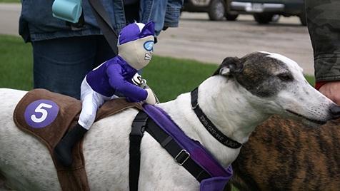 This greyhound at the pet parade had a jockey!