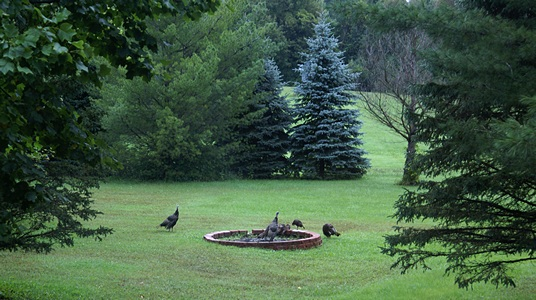 Wild turkeys gather in and around the fire pit.  No...we do plan to cook them.