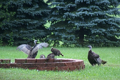 Three adults and three young.  They are large and impressive birds.