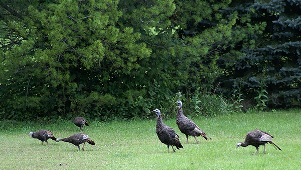 These three adults and three young have been regular visitors to our yard of late.