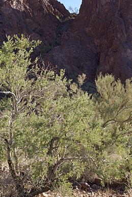 The beginnng of the Palm Canyon trail, KOFA NWR, AZ.