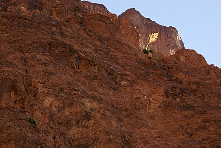 A lone palm backlit high up on the south wall of Palm Canyon, KOFA NWR, AZ.