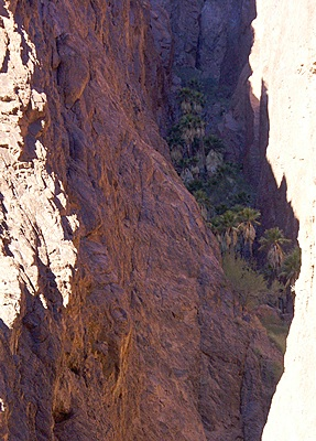 There they are!  The fan palms of Palm Canyon high up in a shaded crevice on the south wall of the canyon.  KOFA NWR, AZ.