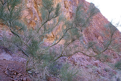 Delicate colors on the north wall of Palm Canyon in the late afternoon sun.  KOFA NWR, AZ.