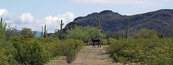 Wild burros on the trail leading east out of Hickiwan Trails RV Park.
