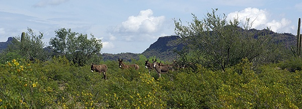 A group of wild burros watching us watching them.