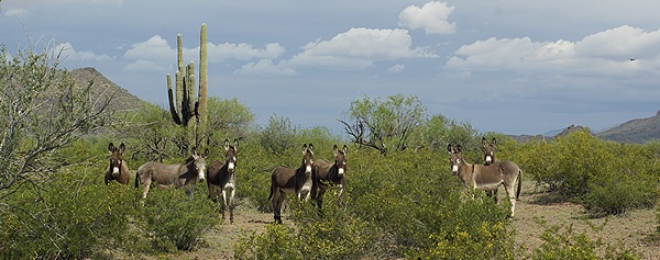 You just can not have too many pictures of wild burros.