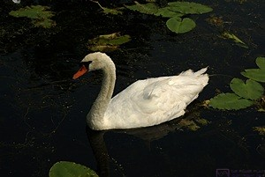 One of the swans at the Brighton Mill Pond.