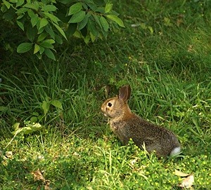 We spotted this young bunny along the boardwalk at the Brighton Mill Pond.
