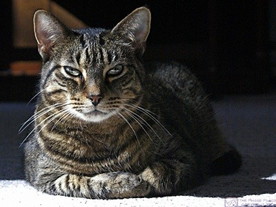 HL – Jasper, our mackerel tabby male cat, allows himself to be photographed on the living room floor.  You wouldn't know it from this photo, but he is actually a very sweet animal ad a real joy to have in our household.
