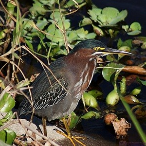 A Green Heron at Myakka State Park, FL.