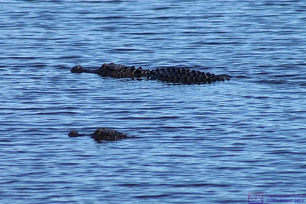 A pair of alligators in the Myakka River, Myakka SP, FL.