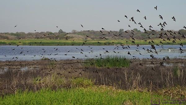 A flock of birds takes flight at the north end of Upper Myakka Lake, Myakka SP, FL.