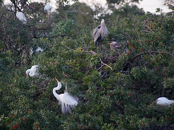 Herons and Egrets at the Venice Rookery, Venice, FL.