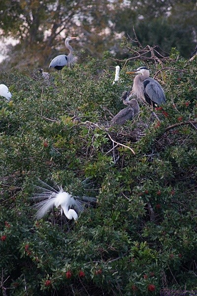 Herons and Cranes at the Venice Rookery, Venice, FL.