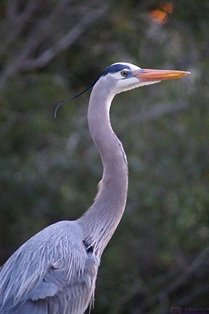 A Great Blue Heron at the Venice Rookery, Venice, FL.