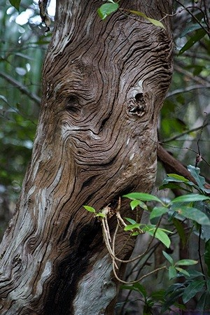 "Though much of the Everglades is open, there are stands of trees throughout.  This one had a ""face.""  Everglades NP, FL."