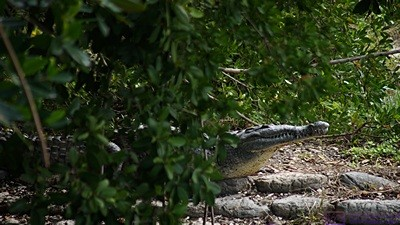 An American Crocodile at Flamingo, Everglades NP, FL.  The Everglades is the only place in the U. S. where you can see both alligators and crocodiles in the wild.