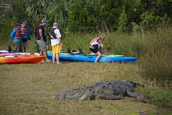 This large alligator was at Nine Mile Pond in Everglades NP, FL.  I estimated it to be 12 feet long.  It had its eyes open but was very still.  The kayakers in the back are at least 30 feet away.