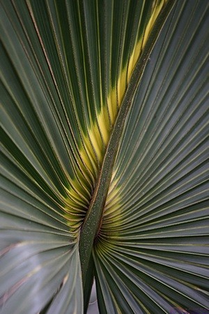 There is flora everywhere in the Everglades, but these palms have beautiful patterns when the light is right.  Everglades NP, FL.