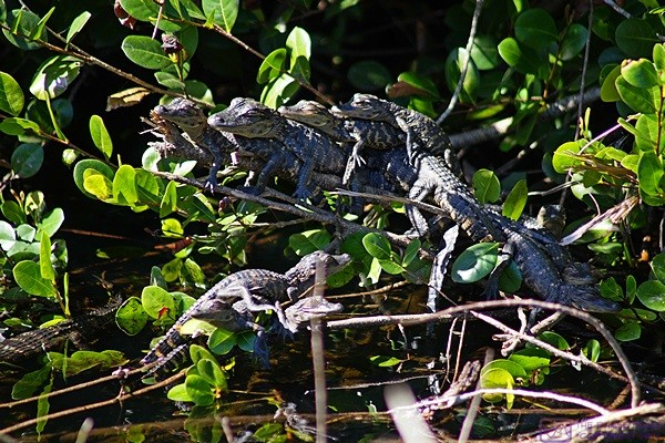 There are at least eight alligators in this image and several more outside the frame.  Shark Valley Visitors Center, Everglades NP, FL.