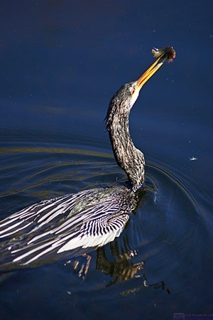 An Anhinga that just caught something to eat.  Shark Valley Visitors Center, Everglades NP, FL.