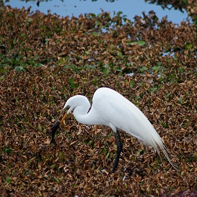 An Egret tries to swallow a fish that it caught near the Myakka River.  Myakka River SP, FL.