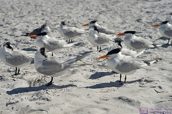 A group of Royal Terns face into the wind on Siesta Key Beach.  Siesta Key, FL.
