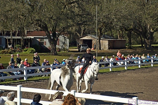 Gabby Herman exercises one of the Royal Lipizzaner Stallions in training.  Myakka City, FL.