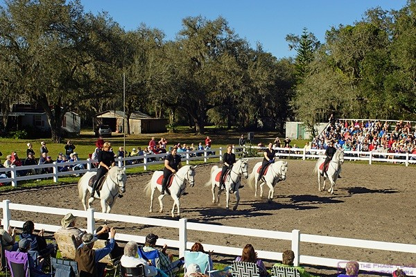 Five stallions work in formation at Hermann's Royal Lipizzaner Stallions and Spanish American Riding School.  Myakka City, FL.