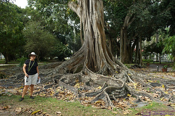Linda stands by one of the many magnificent trees at the Thomas Edison and Henry Ford Estates.  Fort Myers, FL.
