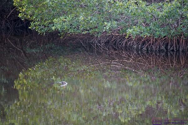 """An alligator just shows its head (left center).  J. N. """"Ding Darling"""" National Wildlife Refuge & Bird Sanctuary, Sanibel Island, FL"""