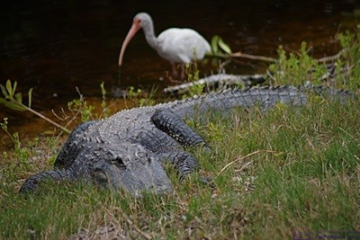 "This Ibis was a little farther behind this alligator than the photos makes it appear, but not that much.  Being behind an alligator is not necessarily any safer than being in front of one.  J. N. ""Ding Darling"" National Wildlife Refuge & Bird Sanctuary, Sanibel Island, FL."